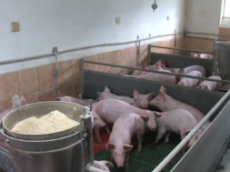 Kmetijska ministrica obiskala pomurske prašičerejce