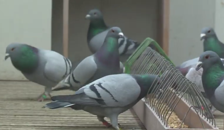 Zmaga pomurske golobice na prestižnem tekmovanju