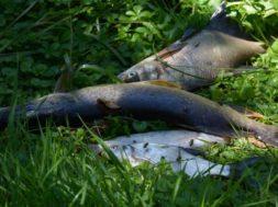 Zaradi vina poginile ribe