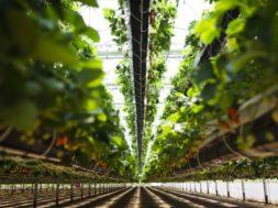 Inovativna kmeta vzpostavila najmodernejši rastlinjak, kjer jagode rastejo kar iz zraka